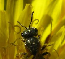 Bee in Dandelion by Michelle McCullough