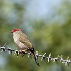 Red-browed Finch by John Sharp