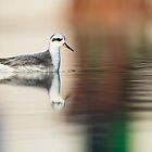 Grey Phalarope at Hove by mattcattell