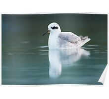 Grey Phalarope at Hove Poster