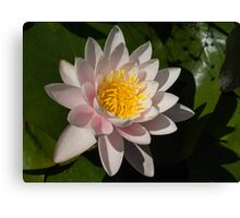 Crisp, Gently Pink Waterlily in the Hot Mediterranean Sun Canvas Print