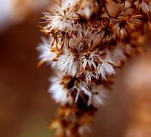 The Rusty Remains of a Goldenrod by Kathleen Daley
