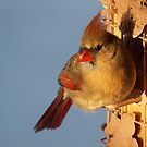 Female Cardinal at the Feeder by Bine