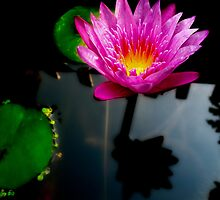 Water Lily by Adrian Evans