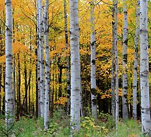 A Birch Grove in Fall by Christopher J. Franklin