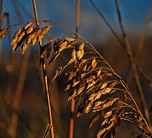 Sea Oats At Sundown by Annette Pora