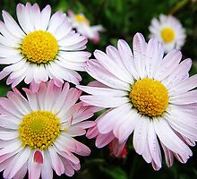 Three white and pink daisies by fotosbykarin