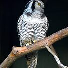 Northern Hawk Owl. by Dorothy Thomson