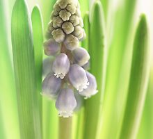 Grape Hyacinth 2014 my first this year....  by Bob Daalder