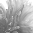 white petals by AnnaGo