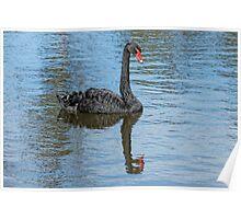 Black Swan (Cygnus Atratus) Poster
