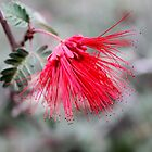 Baja Fairy Duster (Calliandra californica) by DonnaMoore