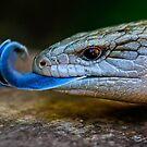 Blue-tongued Lizard  (Tiliqua scincoides scincoides) by Normf