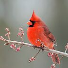 Cardinal on Swamp Maple Branch by Bonnie T.  Barry