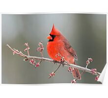 Cardinal on Swamp Maple Branch Poster