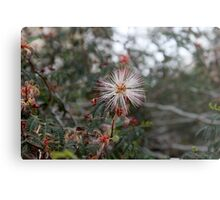 Fairy Duster in white with pink edges..... Metal Print