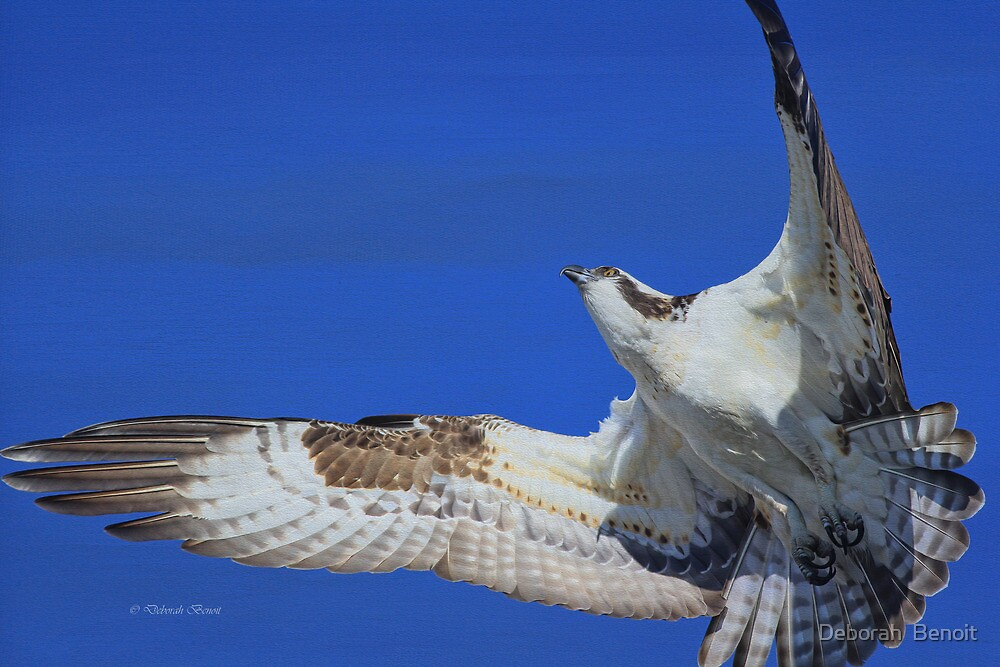 Osprey Grace and Beauty by Deborah  Benoit