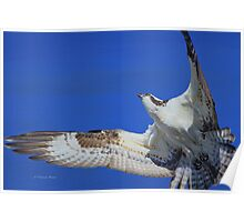 Osprey Grace and Beauty Poster
