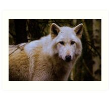Grey Wolf Woodland Park Zoo Art Print