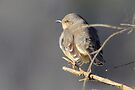 Ode to a Mockingbird  by NatureGreeting Cards ©ccwri