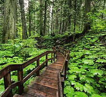 Giant Cedars Boardwalk Trail by Charles Kosina