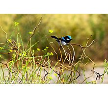 Blue Fairy Wren Photographic Print
