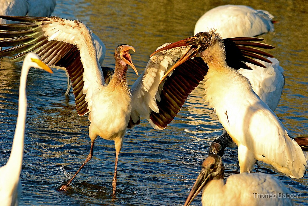 Gray Storks Having a Disagreement by TJ Baccari Photography