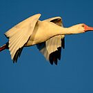 Ibis at Dusk in Flight by imagetj