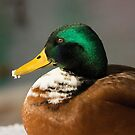 Male Mallard by Dominika Aniola