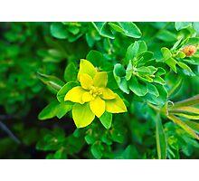 Lemon Yellow Leaves  Photographic Print