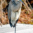 Great blue Heron Resting His Leg by imagetj