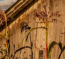 Broom Corn by Michelle Danker