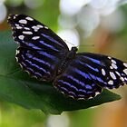 Butterfly Beauty by vette
