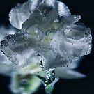 Bubble White Carnation  by Nicole  Markmann Nelson