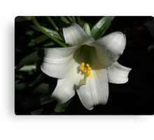 Emerging from the Darkness - Pure White Easter Lily Canvas Print