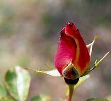 Rose by Emily Rose
