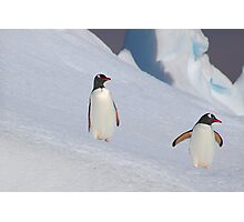 Gentoo Penguins On The Slippery Slope Photographic Print