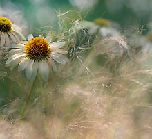 White Coneflowers by Jacky Parker