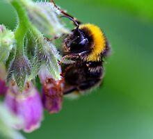 Bumble Bee by Cornelia Schulz