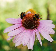 Echinacea Purpurea with Bees by jojobob