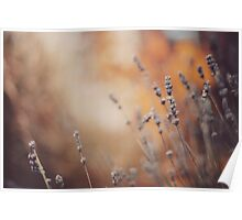 The lavender in the Autumn. Poster