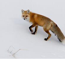 Red Fox in Yellowstone by Robert van Koesveld