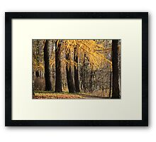 larch trees Framed Print