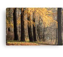 larch trees Metal Print