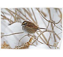 White-Throated Sparrow - Zonotrichia albicollis  Poster