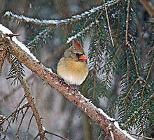 Northern Cardinal - Female - Cardinalis cardinalis  by MotherNature