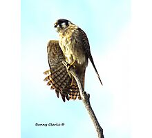 Master Kestral Stretch Photographic Print