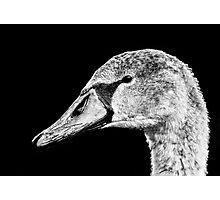 Swan Black & White Photographic Print