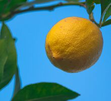 Hanging winter lemon by jhawa