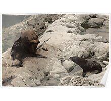 New Zealand Fur Seals Poster
